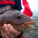 Wrasse fishing saves the weekend