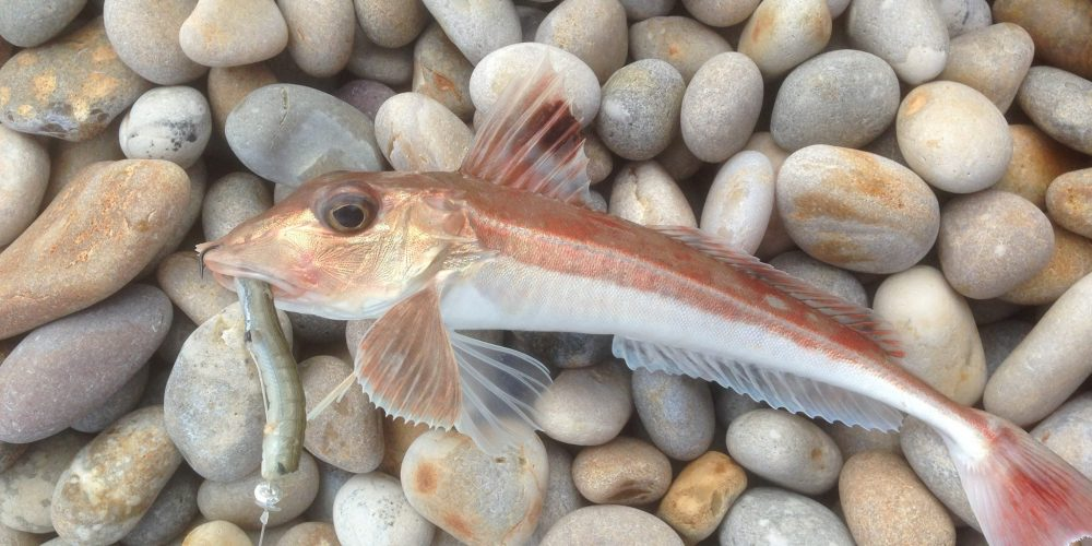 Gurnard first