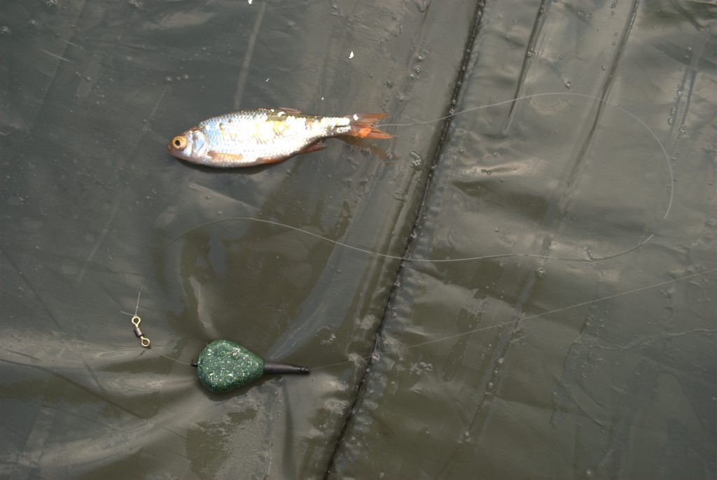 A deadbait mounted on a single size six barbless hook through the tail, hooking it through the root of the tail helps it to stay on whilst casting.