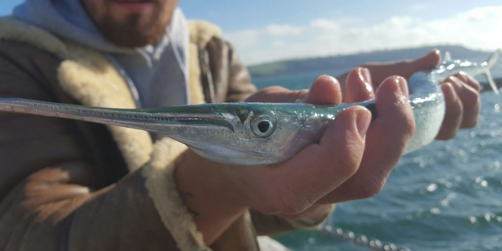 This narrow, toothy beak can provide much frustration in failed hook-ups. Scaling down your hook size is crucial.