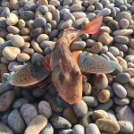 Gurnard, the fish of the summer