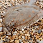 Plaice and bait fish